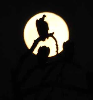 Vulture Darkness
